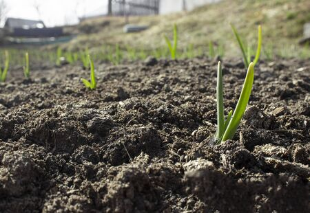 Planting sprouts in the soil in the village garden. Green onion sprouts in a row grow from the ground in the sun.
