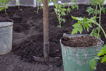 Bucket of fertilizer with a shovel in the greenhouse. Mature for fertilization of seedlings in the pits. Planting seedlings in a greenhouse.
