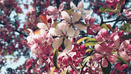 Flowering of a tree with white and pink flowers close-up