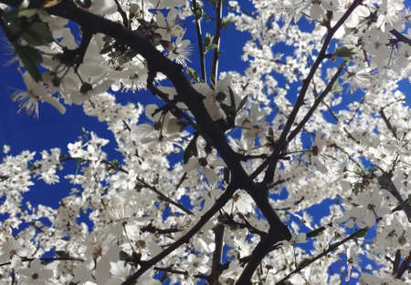 Flowering of a tree with white flowers close-up. Magnolia blooms in the sunlight