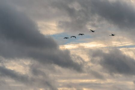 Swans flying in the sky Stock Photo