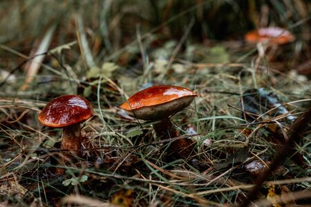 picking mushrooms in the forest
