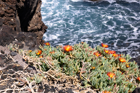 Red ice plant (Malephora crocea) growing on volcanic soil with the vawes on the background - Image