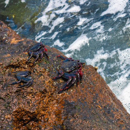 Three red rock crabs (grapsus adscensionis) sitting on the rock near the ocean - Image 写真素材