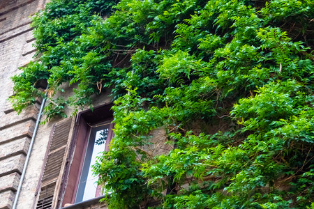 Old brick wall and the window covered with the vine plant - Image Imagens