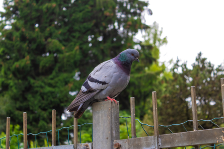 Pigeon sitting on the pole closeup - Image Imagens