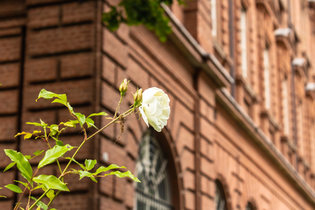 Beautiful white rose in blossom with the red brick house on the background - Image