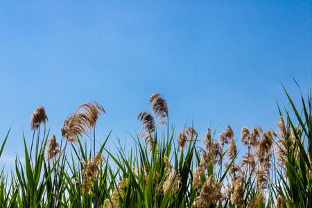 Common reed flowers(Phragmites australis) with the blue sky background - Image