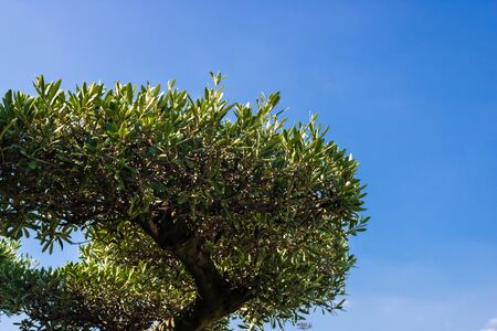 Olive tree top on blue sky background - Image