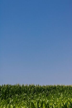 Green cornfield in summer with a blue sky, cornfield on a sunny day - Image