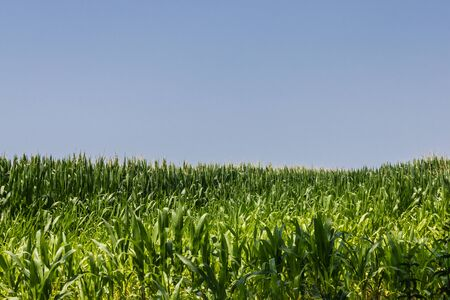 Green cornfield in summer with a blue sky - Image