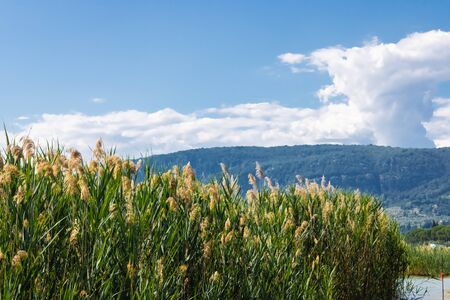 Common reed flowers(Phragmites australis) with the mountain view and blue sky background - Image