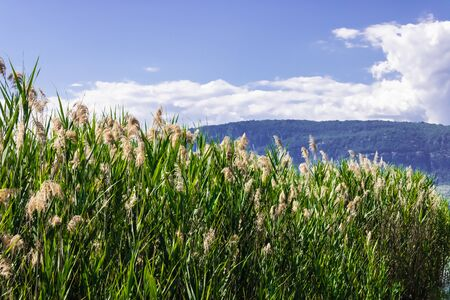 Common reed(Phragmites australis) with the mountain and blue sky background - Image