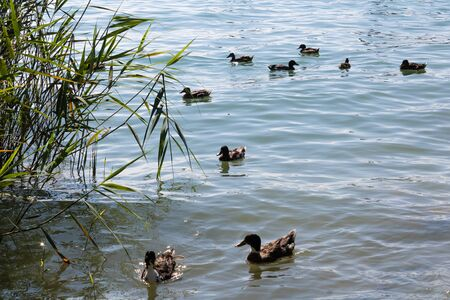 A lot of mallards (Anas platyrhynchos, wild ducks) swimming around in the lake on a sunny day - Image Imagens