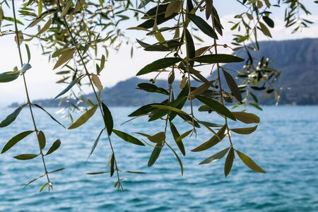 Olive tree with the blue water and mountains on the background, Mediterranean landscape - Image