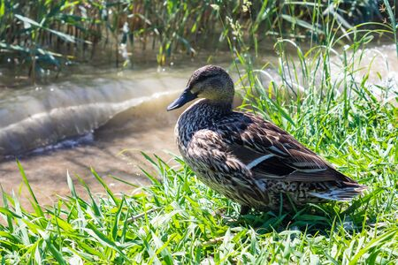 The female mallard (Anas platyrhynchos, wild duck) sitting on the river bank - Image Imagens