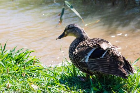 Female mallard (Anas platyrhynchos) preparing to swim, Wild duck plumage closeup - Image Imagens