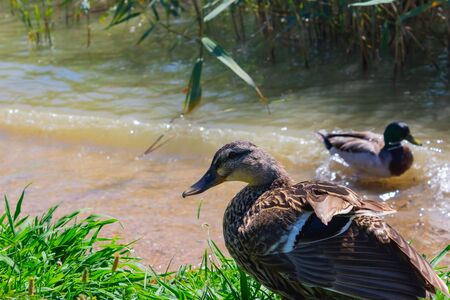 Female mallard (Anas platyrhynchos) looking at the camera with the male mallard swimming on the background - Image