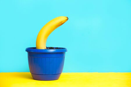 yellow banana grows in the ground in a flower pot. combination of colors of blue and yellow background 免版税图像