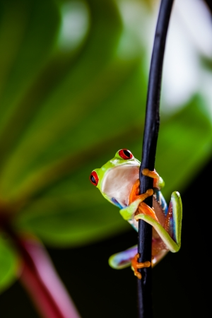 Exotic frog, vivid jungle theme photo