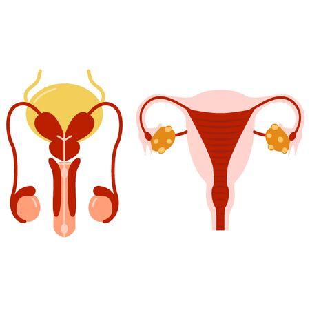 Male and female set reproductive system anatomical