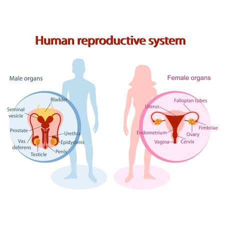 Anatomisches menschliches Fortpflanzungssystem. Genitalien von Mann und Frau Design Vektorgrafik