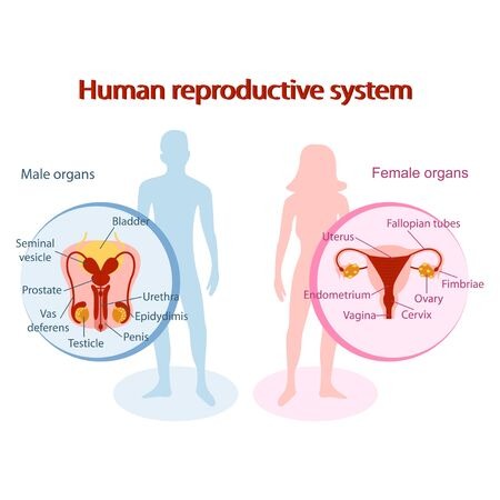 Human reproductive system anatomical. Genitals of man and woman design Çizim