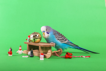 Sky blue budgie with Christmas decoration toys on green background 스톡 콘텐츠