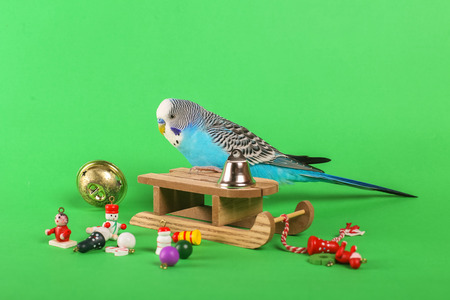 Sky blue budgie with Christmas decoration toys on green background Standard-Bild - 114475049