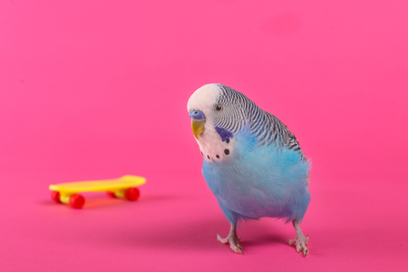 Sky blue budgie with plastic toy skateboard on pink background Stock Photo
