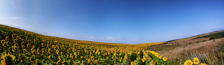 Panorama field of sunflowers blue sky with white clouds Ukraine Europe Stock Photo