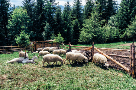 shorelines: Sheep grazing in the meadow in Carpathian mountains