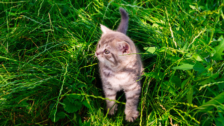 A little British kitten sits in the green grass Stock Photo