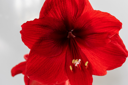 Homemade flower blooms in red. Close-up Beautiful spring background. Stockfoto
