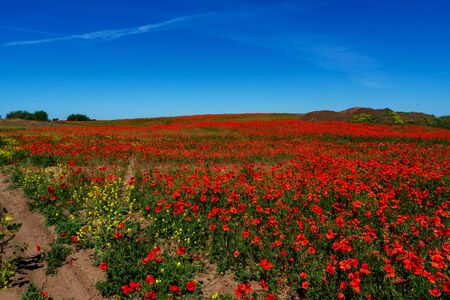 Ukraine is a beautiful place. Field of flowers of red poppy. copy space Standard-Bild