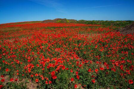 Field of flowers of red poppy. Ukraine is a beautiful place. copy space Standard-Bild