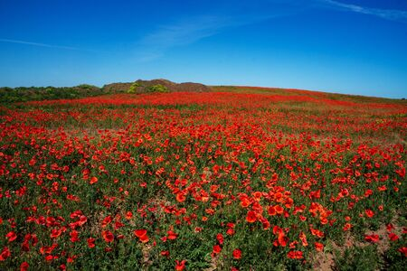 Die Ukraine ist ein wunderschöner Ort. Blumenfeld der roten Mohnblume. Platz kopieren