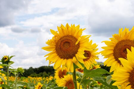 Sunflowers blossom on the farm field. copy space
