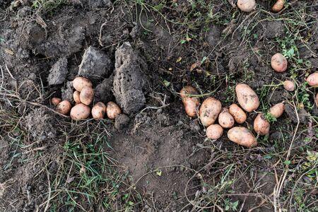 Harvesting large potatoes.