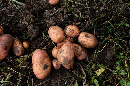 The dug potato lies on the ground. Grown without chemistry. Standard-Bild