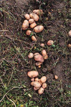 The dug potato lies on the ground.