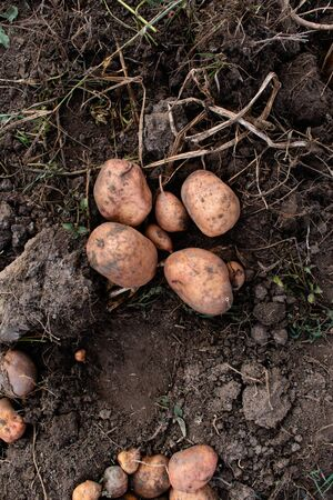 Harvesting large potatoes. Grown without chemistry. farming.