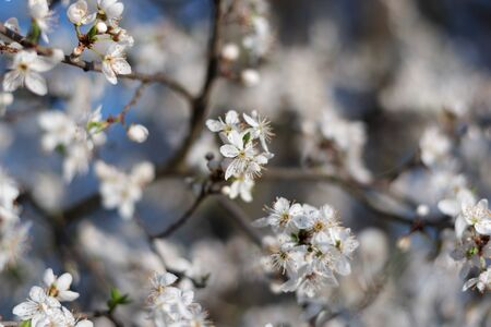 Spring flowers background. Small small flowers bloomed in spring. Soft focus. white flowers