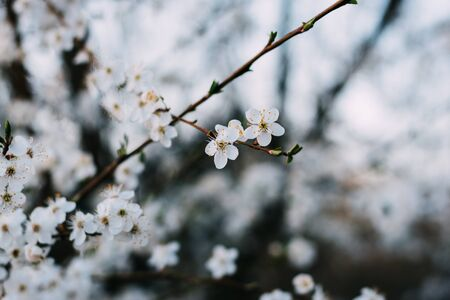 Spring flowers background. Small small flowers bloomed in spring. Soft focus. delicate flowers