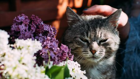 gray contented cat sitting around a white purple bouquet of lilacs stroking his hand. panorama banner.