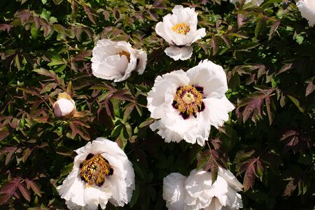 White Peonies bloom with a beautiful white flower. Springtide. Great beautiful flowers.
