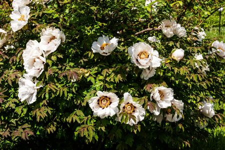 White Peonies bloom with a beautiful white flower. Springtide. Beautiful nature.