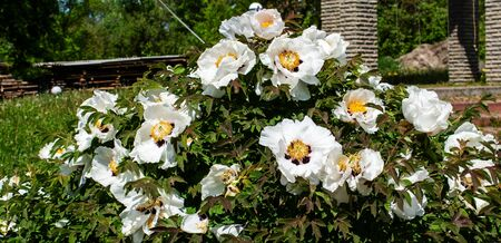 White Peonies bloom with a beautiful white flower. Springtide. Panorama. Banner. copy space
