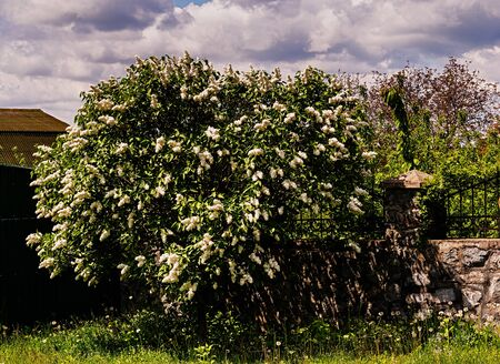 Beautiful white lilac tree blooms in spring and summer. Cloudy sky.