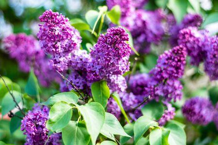 Beautiful lilac flowers bloom in spring. Macro bokeh.